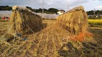 稲刈りをして、稲を日干ししました。