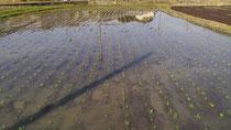 田植えを行いました。