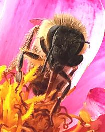 Eine fleissige Biene an der Arbeit