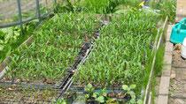 定植前のスイートコーンの苗
