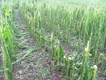 Parcelle de maïs après l'orage, vers Nay © C-PRIM