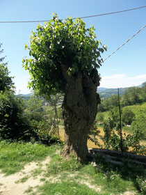 "The mulberry tree - more like a green ""afro"" than a ""hat"" perhaps!"