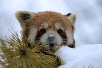 Sweet little Panda