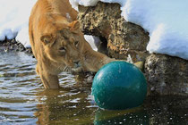 Lion catching the ball