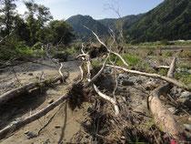 2011年の洪水後の伊南川の河畔林