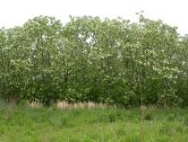 外来樹種ニセアカシアが繁茂