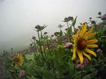 Nebel Alpen E5 gelbe Blumen