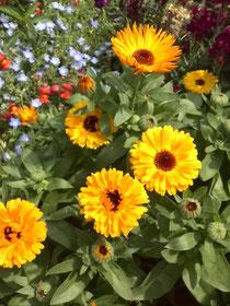 カレンデュラの花 キンセンカ、ポットマリーゴールドとも呼ぶ