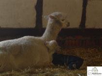 Baby Alpaka Fritz mit seiner Mama Tosca