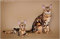 Бенгальский мраморный кот