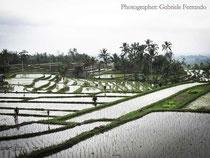 Campi di riso a Jatiluwih