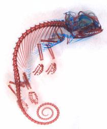 Caméléon voilé, embryon