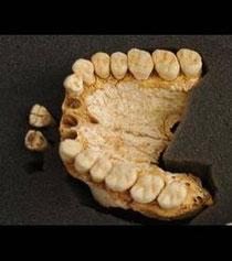 Mâchoire de Néandertal, El Sidron