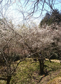 天神神社の桜