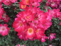 大好きな薔薇に癒される6月
