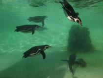 Veräppelte Pingiune