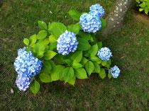 アジサイが美しい季節になりました!