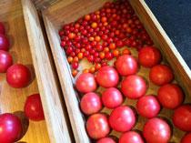 今年最後の飛騨の最高トマト!しっかり堪能いたしました!