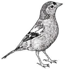 Английские названия птиц