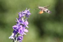 Un papillon-colibri en vol stationnaire