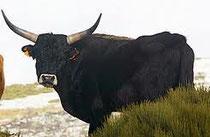 A Sterkarm beast