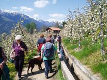 Waalwege im Meraner Land mit Obstblüte