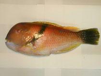和歌浦の魚 沖ベラ