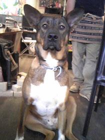大型MIX犬