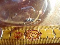 採取したホタルの幼虫