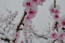 桃の花も気の毒です。(>_<)