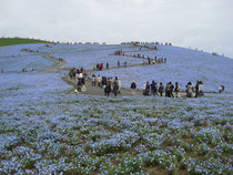 丘一面に広がるブルーの花フィモネラ(ひたち海浜公園)