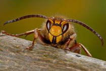 Sieht bedrohlich aus, ist es aber nicht: Hornissen Drohne (Jürgen Kottmann)