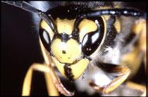 Deutsche Wespe (Quelle: Wikimedia, Fotograf: pjt)