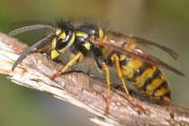 Gemeine Wespe (Quelle: Wikimedia, Foto: Groeschel)