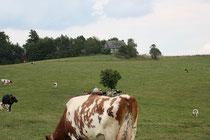 so sollten Kühe gehalten werden