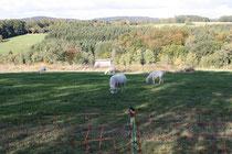 Schafe als Landschaftspfleger im Einsatz (hu)
