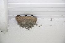 Mehlschwalben am Haus der Familie Ospelkaus
