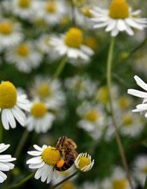 Biene auf Kamille (Foto: Michaela Steininger)