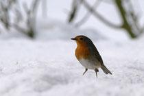Bei Schnee und Eis kommen Rotkehlchen oft zur Winterfütterung – diesen Winter nicht (Foto: R. Jacobs)