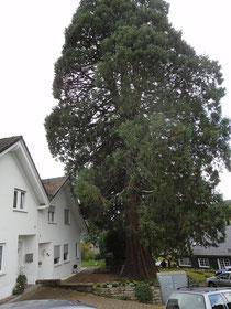 Mammutbaum in Hülsenbusch