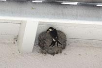 Schwalben am Nest