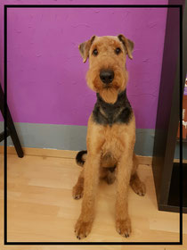 Airedale Terrier Pendo frisch getrimmt🐶
