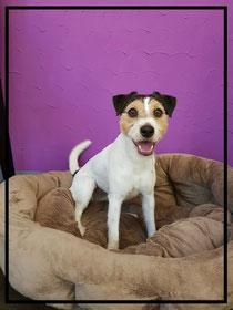 Jack Russel Terrier getrimmt🐶
