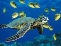海亀が泳いでいます。