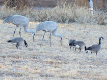 Sandhill Cranes & Geese