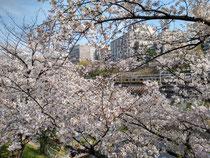 総武線と桜