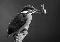 Eisvogel / Foto: Delpho / NABU