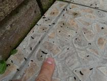 Kot der Zwergfledermaus unter einem Quartier, Foto: M. Straube