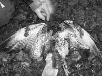 vergifteter Mäusebussard 2009     Foto: Komitee gegen den Vogelmord