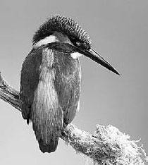 Eisvogel / Foto: Dove / NABU